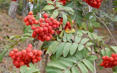 Vogelbeeren – Eberesche: Wilder Genuss im Herbst